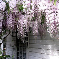 Heirloom 10 Wisteria Seeds Tree Seeds Wisteria sinensis Chinese Wisteria Vine Purple Flowers Perennials Bonsai Seeds T017