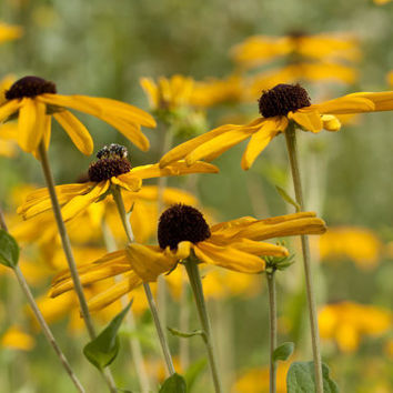 Black-eyed Susan Cards - Yellow Flower Cards - Flat Photo Cards