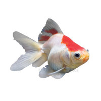 Red and White Ryukin Goldfish