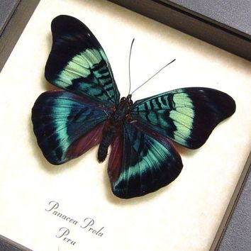 Framed Butterfly Real Panacea Prola Conservation Display 156