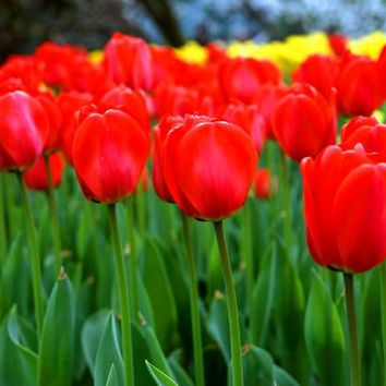 Green plants flower potted red tulip bulbs red tulip seeds 3 grains
