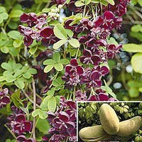Chocolate Vine|Spring Hill Nursery
