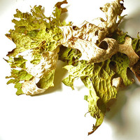 HUGE foliose lichen specimen live plant for by paperanji on Etsy