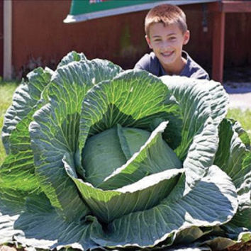 100 Giant Russian Cabbage Seeds | Rare Vegetable Seeds 95%+ Germination | High-Quality Vegetable for Home Garden
