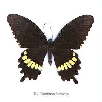 Real framed butterfly Display Rare Insect Taxidermy THE COMMON MORMON Exotic Butterfly Display