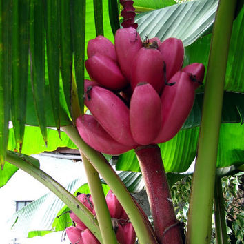 100 Pink Banana Seeds | Musa Velutina Tropical Heirloom | Rare Outdoor Perennial Interesting Plants Delicious Fruit Home & Garden