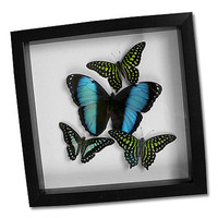 Blue and Green Butterfly Display