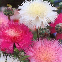 200+ Sweet Sultan Imperialis Mix Flower Seeds