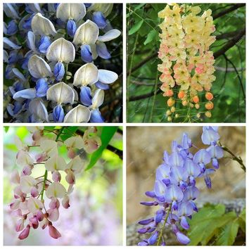 5 Colours Of Wisteria Flower Seed, Purple Yellow White Pink Blue Bonsai Wisteria Seed Outdoor Ornamental Plants 20 Pcs/Pack