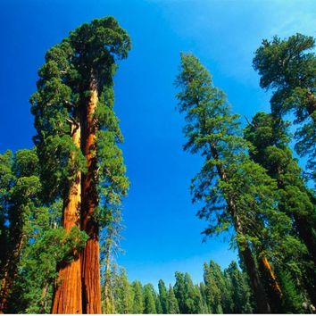 Hot Item! 20 Giant Sequoia Seeds, Rare Bonsai Fast Growing Variety