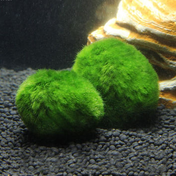3-4cm Cladophora Live Aquarium Plant Fish Tank Shrimp Nano For MARIMO MOSS BALLS Fish Tank Ornament L50