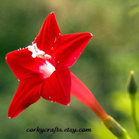 Red star glory vine or cypress vine seeds