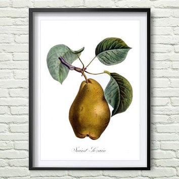 3 Colors Background, Antique botanical print, Pear Print, illustration digital download, Botanical Vintage Art Prints, Vintage poster *7*
