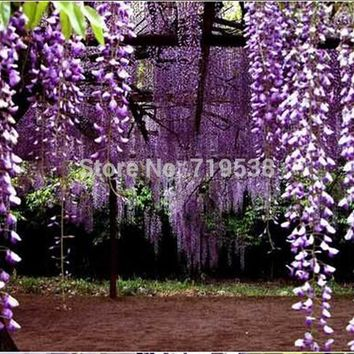 Purple Wisteria Flower Seeds for DIY home & garden plant Wisteria sinensis ( Sims ) Sweet seed Free shipping  2 pcs/bag