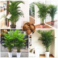 5 Pcs Chrysalidocarpus Lutescens Seeds Home Decoration Areca Palm seeds Indoor Plants  Butterfly Palm Seeds Plants