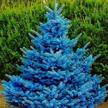 30 pcs/bag blue spruce trees, bonsai blue spruce seeds, Picea Pungens Seeds Evergreen Ornamental potted Tree for home garden