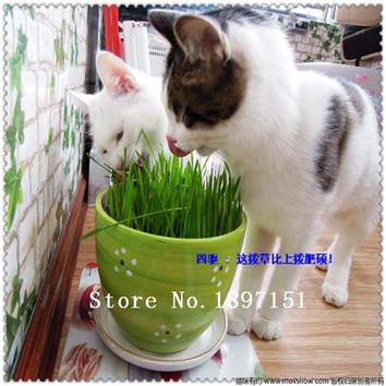 Big sale Foliage plant seeds , cat grass seeds, wheat seeds,about 100 particles