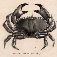 1803 sea life original antique engraving - black crawed crab