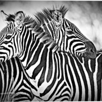 Cuddling Zebras Animal Canvas Wall Art Print