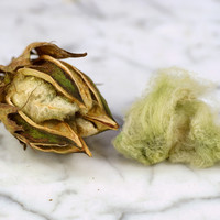 Arkansas Green Lint Cotton | Baker Creek Heirloom Seeds
