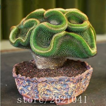 100pcs / Package Rare cactus seeds Potted Succulent Perennial Plant Seeds in bonsai