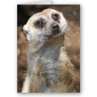 Meerkat Cards from Zazzle.com