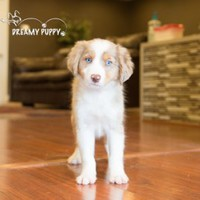 Buy a Miniature Australian Shepherd puppy , from Dreamy Puppy available only at DreamyPuppy.com Place a $200.00 deposit online!