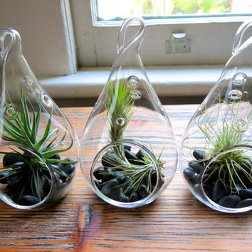 The Funkies: Three Strange Air Plants in Teardrop Terrariums including Bergeri, Funkiana, and Argentine Thin!