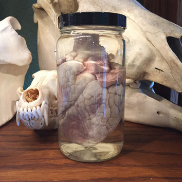 Sheep Heart Wet Specimen