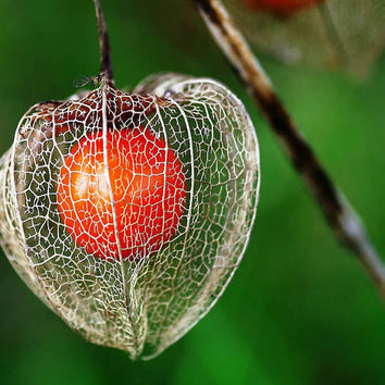 50 Groundcherry Seeds Heirloom Physalis Dkekehgi Red Chinese Lanterns Winter Cherry Husk Tomato Orange Gooseberries Cherries Garden Plant