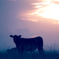 Sunset Farm Cow, Digital Art Print, Home Decor, Ready to Frame Photo, Wall Hanging, Nature Photograph, Soft, Dreamy, Country, Nebraska,
