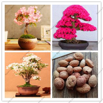 10pcs real japanese sakura seeds,sakura tree seeds,bonsai flower Cherry blossom seeds for home garden flowers