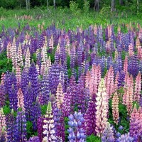 For 2013 PLANTING - 1000 Wild Maine LUPINE Seeds