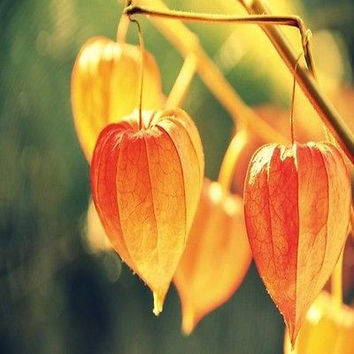 Chinese Lantern Seeds (Physalis Alkekengi) 50+Seeds