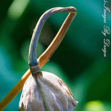 Lotus Seed Pod Dried Flower Photo 8X12 by NatureImagesByDesign