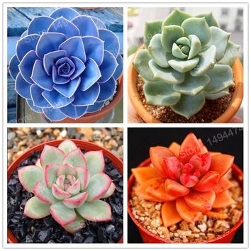 200pcs/bag mixed color sucullent plant seeds home decoration flower seeds Bonsai plants Seeds for home & garden