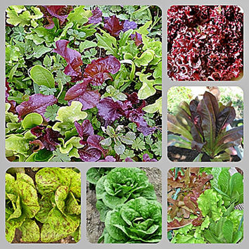 Best Heirloom Lettuce Seed  Collection Non-GMO Naturally Grown Open Pollinated