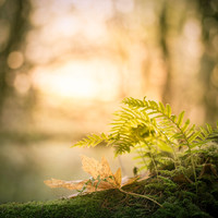 Golden Light Fern Photo, Northwest Forest Art Print, Forest Picture, Yoga Studio Decor