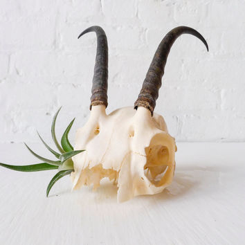 Maleficent Horned Skull Air Plant Garden