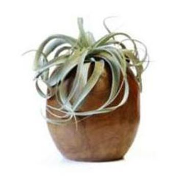 LIVE Xerographica in a Teak Orb - Ships Alone