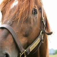 chestnut Thoroughbred horse portrait 5x7 art photograph, Presence   LibertyImages - Photography on ArtFire