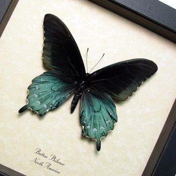 The Pipevine Swallowtail Real Framed Butterfly 548