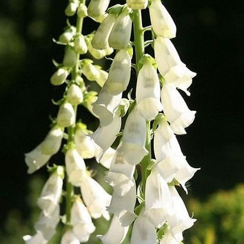 Foxglove White Cloud Flower Seeds (Digitalis Purpurea Alba) 200+Seeds