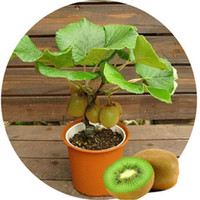 100 Pcs/lot Kiwi Fruit Seeds,potted Plants,min Tree Nutrition Is Rich, Beautiful,bonsai,vegetable Melon Seeds