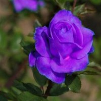 Purple rose 5 seeds great house patio and garden plant!