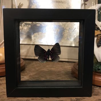 Framed Lyropteryx apollonia Butterfly
