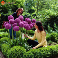 Purple Giant Allium Beautiful Flower Seeds Garden Plant Rare Flower 30 Particles / lot