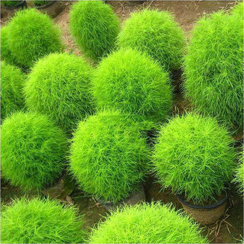 100 Green Kochia Scoparia Grass Seeds Ornamental Plants Summer Cypress 98% Germination Rate Bush Garden Rare Exotic Rapid Grow Decor DIY