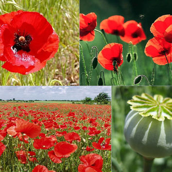 Papaver rhoeas Greek Red Common Corn Field Poppy - Wild Flower - 4gr (approx. 28.000 seeds)