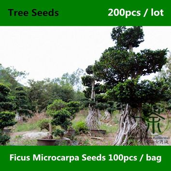 ^^Evergreen Tree Ficus Microcarpa Seeds 200pcs, Family Moraceae Greening Chinese Banyan Seed, Ornamental Plant Curtain Fig Seeds